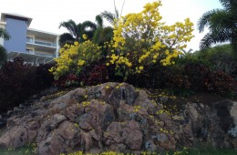 One of the beautiful trees in summer bloom just behind the Reef Lodge Backpackers in Townsville